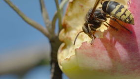 Hornet eats red apple stock video footage