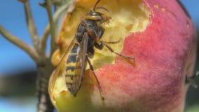 Hornet eats red apple stock video