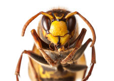 Hornet en face Royalty Free Stock Images