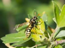 Hornet on leaf Stock Photography