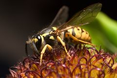 Hornet on a flower Royalty Free Stock Image
