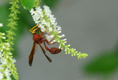 Hornet and flower Royalty Free Stock Images