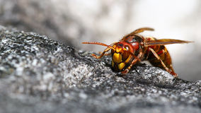 Hornet front view Royalty Free Stock Photography