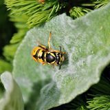 Hornet on green leaf Royalty Free Stock Photo