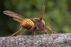 Hornet - guard. Insect - Hornet (Vespa crabro), rear view Stock Photos