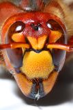 Hornet head. Extremely close-up of a live European Hornet (Vespa crabro) head. Macro shot with shallow dof Royalty Free Stock Images