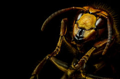 Hornet head Stock Photography