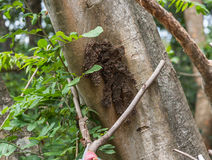 Hornet hive on the tree. In the forest stock image