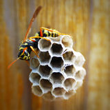 Hornet with honeycomb. A hornet and its honeycomb that build on wood royalty free stock photography