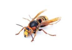The hornet isolation on white Stock Image