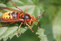 Hornet on leaf. A big hornet on leaf Stock Photos