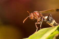 Hornet. Macro verdant wasp forest bee Royalty Free Stock Photos