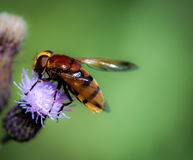 Free Hornet Mimic Hoverfly Royalty Free Stock Images - 97751869