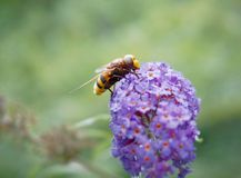 Hornet mimic hoverfly. Close up from a hornet mimic hoverfly, Volucella zonaria, on purple buddleja flower stock photo