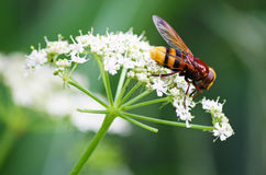 Hornet mimic hoverfly Stock Photos