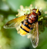Hornet mimic hoverfly Royalty Free Stock Images