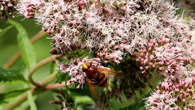 Hornet mimic hoverfly walking over holy rope stock video