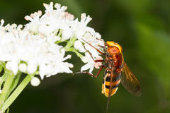 Hornet mimic hoverfly on a white flower / Volucell. Hornet mimic hoverfly on a white flower close-up / Volucella zonaria Stock Images