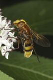 Hornet mimic hoverfly on a white flower / Volucella zonaria Royalty Free Stock Photos