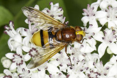 Hornet mimic hoverfly on a white flower / Volucella zonaria Stock Photography