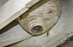 Free Hornet Nest Stock Photography - 77270412