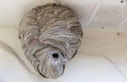 Hornet nest Royalty Free Stock Image