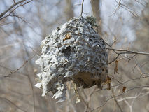 Hornet Nest in the fall Royalty Free Stock Image
