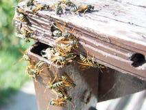 Hornet nest and hornets. Hornet nest and working hornets Royalty Free Stock Photos