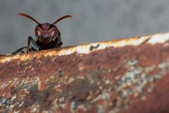 Hornet on nest, macro insect. In wild, animal wild life, bug in nature royalty free stock images