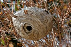 Hornet Nest in a Small Tree Royalty Free Stock Photography