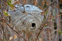 Hornet Nest in a Small Tree Stock Photography