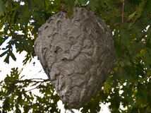Hornet Nest Royalty Free Stock Photo
