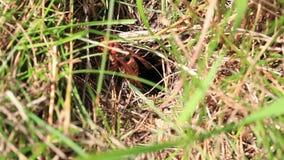 Hornet - nesting hole stock video