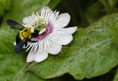 Hornet on a passion flower Royalty Free Stock Image