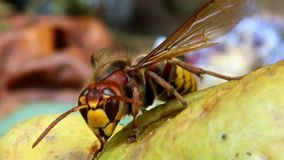 Hornet on Pear stock footage