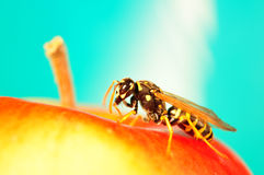 Hornet portrait, Bee portrait Stock Image