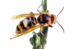 Hornet queen royalty free stock photography