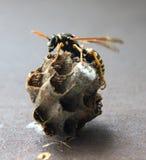 Hornet's nest Stock Photo