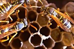 Hornet's nest. Wild hornet's nest (macro image Stock Photo