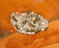Hornet's nest Stock Images