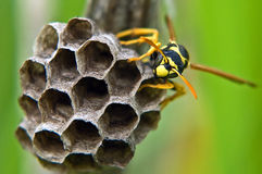 The hornet's nest Royalty Free Stock Images