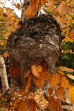 Hornet`s Nest in the Branches stock photo
