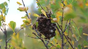 Hornet's nest in a bush stock video footage
