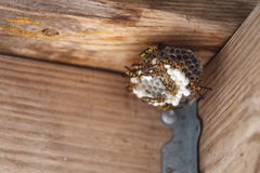 Hornet's Nest. A close up view of a full hornet, or yellow jackets nest Stock Image