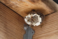 Hornet's Nest. A close up view of a full hornet, or yellow jackets nest Stock Images