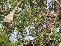 Hornet`s nest in the green tree, the jungle of Sri Lanka royalty free stock image