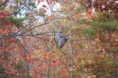 Hornet's nest. A hornets nest in the trees with fall colors around royalty free stock photos