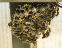 Hornet's nest with insect Royalty Free Stock Photography