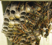 Hornet's nest with insect Royalty Free Stock Photos