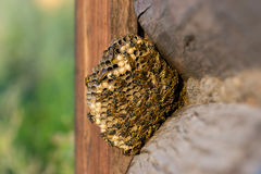 Hornet's nest. Of paper wasp Royalty Free Stock Photo